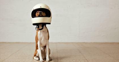 Ein weißer Hund hat einen Motorradhelm auf dem Kopf.